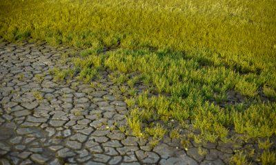 salicornia-litoral-magazine